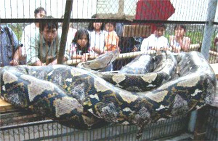49 Foot Python Holding a 49-foot-python